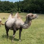 В Туркестане планируют развивать верблюжий бизнес