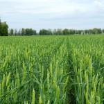 Как добиться стабильного урожая яровой мягкой пшеницы?