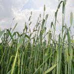 Фунгицид наносится на семена культур, а защищает листья будущего растения
