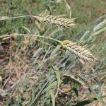 Казахстанские аграрии не могут своевременно застраховать посевы