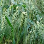 В РК появятся препараты, способные предотвращать болезни растений
