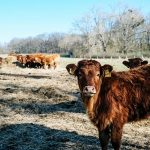 Выезд за границу запрещён: Минсельхоз РК закрыл экспорт живого скота