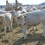 Мы становимся сырьевым придатком Узбекистана – Мырзахметов о вывозе скота за границу