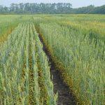 На каком расстоянии от жилых домов и населённого пункта можно сеять пшеницу?