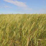 Пшеничное банкротство