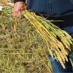 Каковы особенности нового механизма страхования в растениеводстве РК