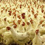 Птицеводы Казахстана намерены вытеснить импорт с рынка в течение 5 лет