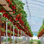 Люминесцентный пластик повышает урожайность тепличных ягод