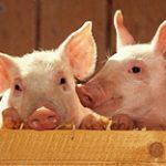 На юге Казахстана свиноводство становится нерентабельным бизнесом