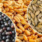 Казахстан почти полностью обеспечил себя семенами под урожай 2020 года