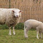 Овцеводы Алматинской области столкнулись с проблемой переработки шерсти