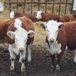 Павлодарский фермер не может зарегистрировать племенной скот в информационной системе