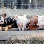 Используемые в животноводстве антибиотики всё ещё мало изучены