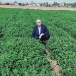 Новый перспективный сорт поливной люцерны вывели учёные в Туркестанской области