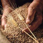 IGC в апреле сократил прогноз мирового производства пшеницы в сезоне 2020/21 МГ, но запасы по прежнему высоки