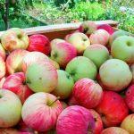 Что мешает полностью заместить импортное сухое молоко и яблоки?