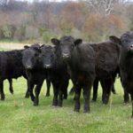 Сколько можно заработать на экспорте бычков в Китай?