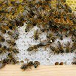Североказахстанские пчеловоды определили идеальную породу пчёл