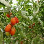 До 40 сортов помидоров выращивает туркестанский аграрий