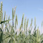 Фермеры ВКО начали страховать определяемые со спутника запасы влаги в почве