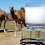 В Кызылординской области откроют завод по производству сухого верблюжьего молока