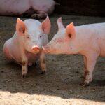 Может ли безработный оформить кредит на разведение свиней?