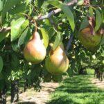 Разбить сад и запустить переработку фруктов планирует турецкая компания в Казахстане