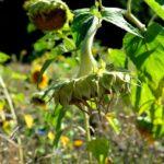 Казахстанские растениеводы получили субсидирование по договорам страхования от засухи