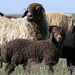 На 98% сократилась численность каракульских овец в Казахстане