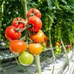 Как технологии меняют тепличные хозяйства