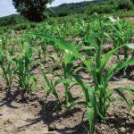 В Туркестанской области засеяли пострадавшие от наводнения сельхозземли