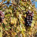 Чем болеют виноградники в Казахстане