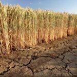 Страшная засуха: костанайские фермеры теряют урожай зерна