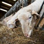 Ответы на вопросы по субсидированию овцеводства