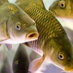 Минсельхоз РК определил размеры субсидий для рыбоводства