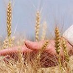 Продкорпорация объявляет об установлении закупочных цен на пшеницу ячмень