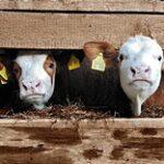 Единым алгоритмом будут пользоваться в ЕАЭС при выведении новых пород сельхозживотных