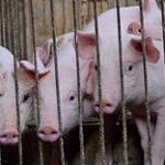 Александр Линник: У Казахстана огромный потенциал для развития свиноводства