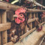 Более 5 тысяч голов домашней птицы закупили жители Жанибекского района ЗКО