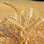 О высоком качестве зерна урожая этого года заявил аким СКО